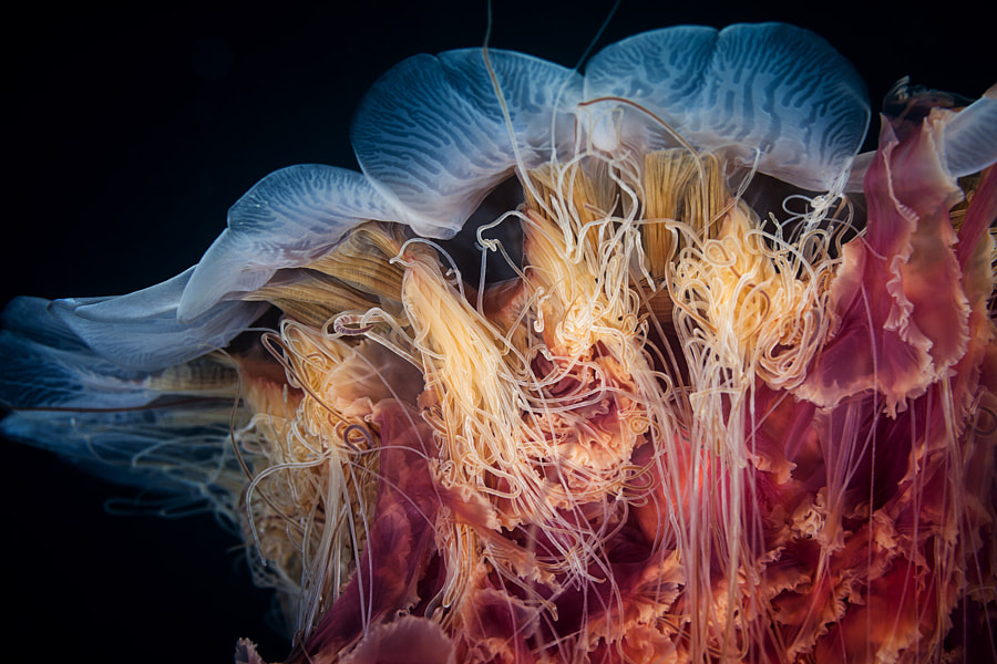 Lions Mane Jelly by John Rix on 500px.com