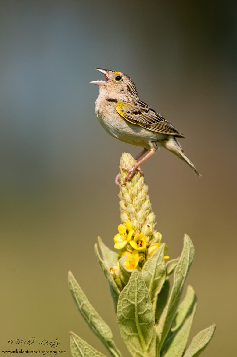 Photograph Grasshopper sparrow sings on Common Mullein by Mike  Lentz on 500px