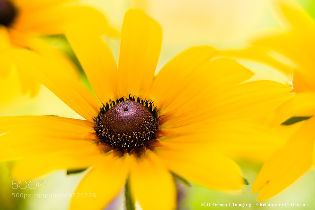 Photograph Lazy eyed Susan by Christopher  O Driscoll on 500px