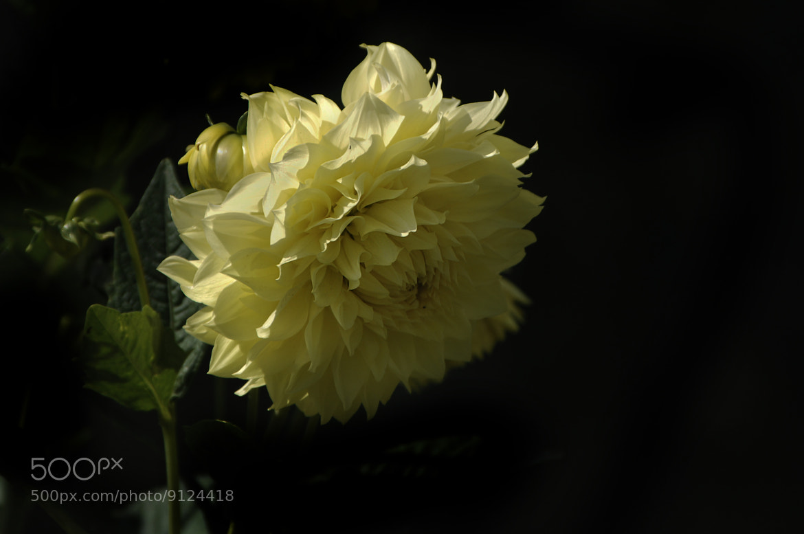 Photograph yellow Dahlia by Cristobal Garciaferro Rubio on 500px