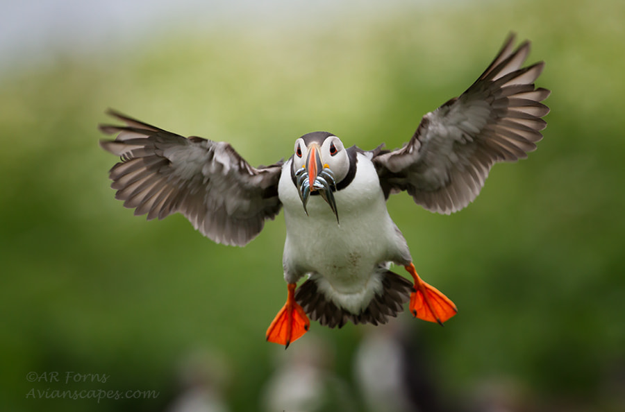 Photograph Landing puffin by Alfred Forns on 500px