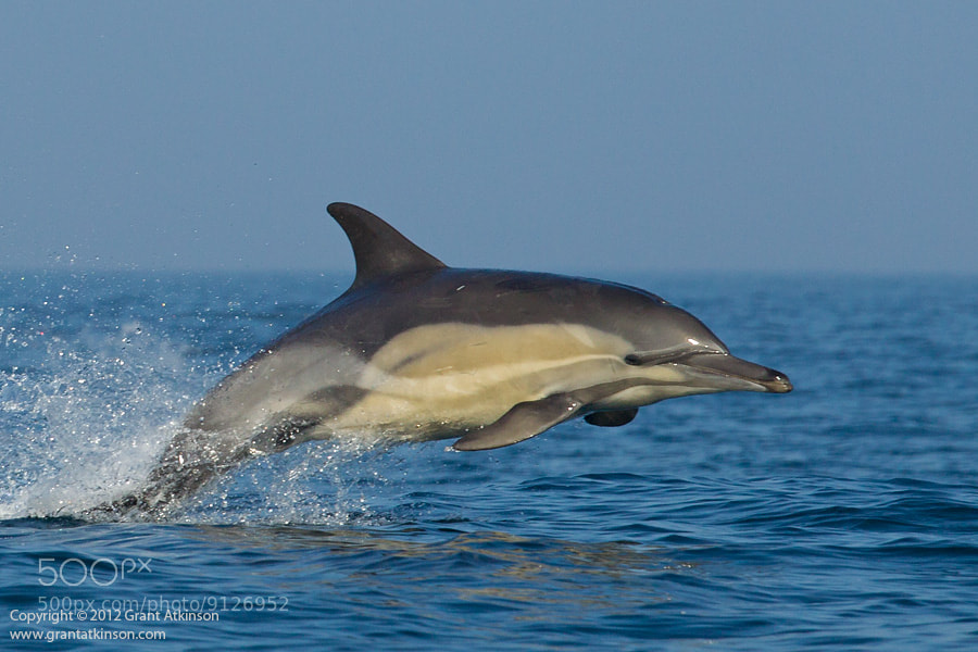 Photograph Leaping Dolphin (Delphinus)  by Grant Atkinson on 500px