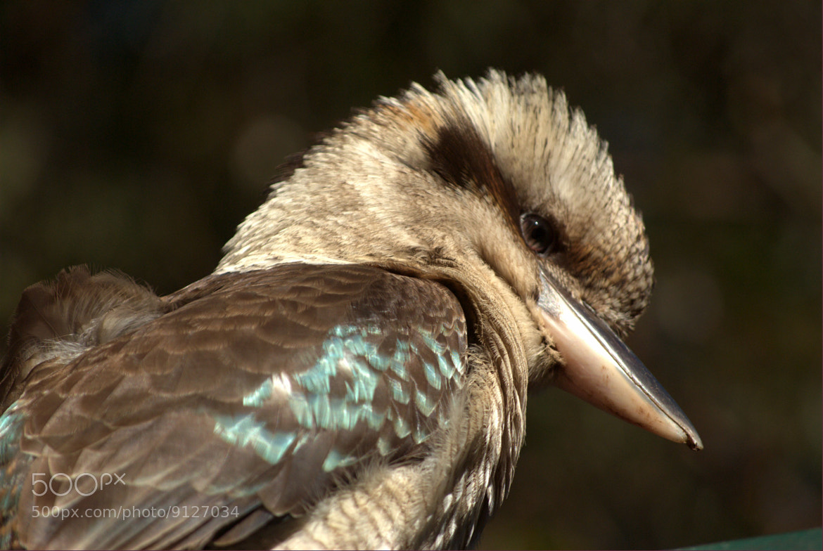 Photograph Kookaburra by Apple323 on 500px