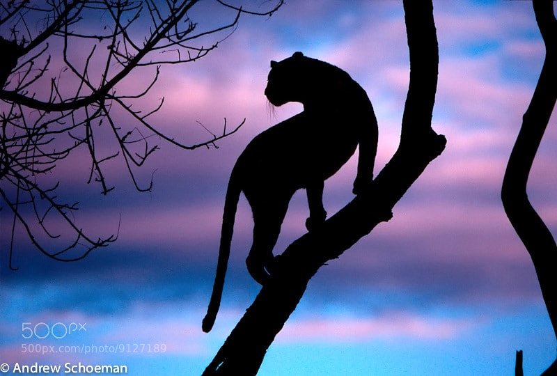 Leopard Silhouette - The Cat Family Inspiring Photography