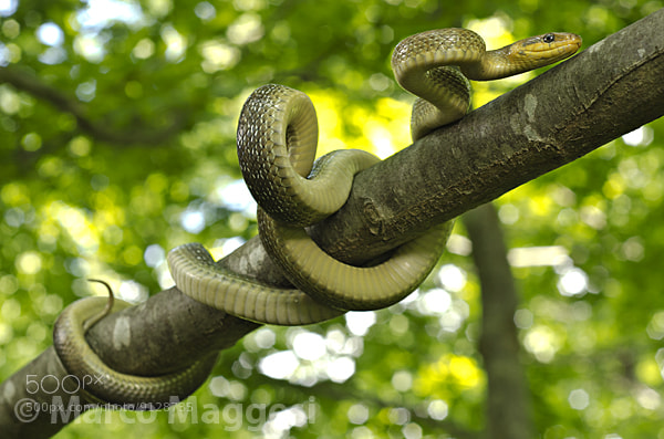 Photograph Aesculapian Snake (Zamenis longissimus) by Marco Maggesi on 500px