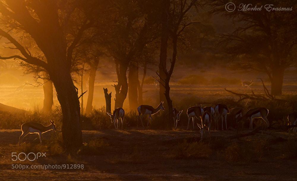 Photograph Kalahari Springbok Dawn by Morkel Erasmus on 500px