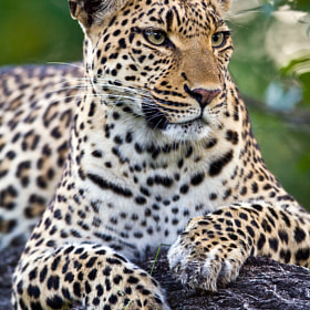 Leopard by Will Burrard-Lucas (wildlife)) on 500px.com