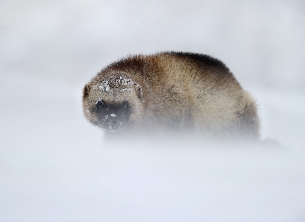 Photograph Wolverine in blizzard by Nikolai Zinoviev on 500px