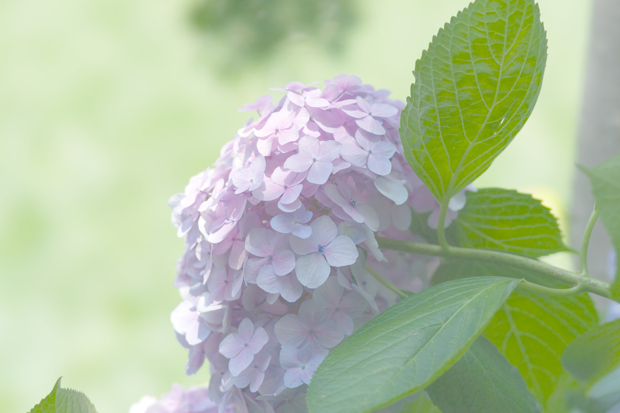 Photograph Pink Color Hydrangea by marbee .info on 500px