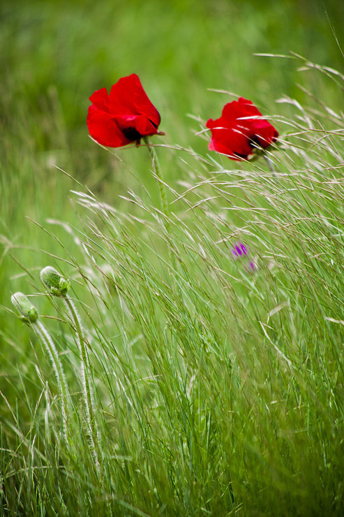 Photograph Prairie anemone .. . by mohsen rezapour on 500px