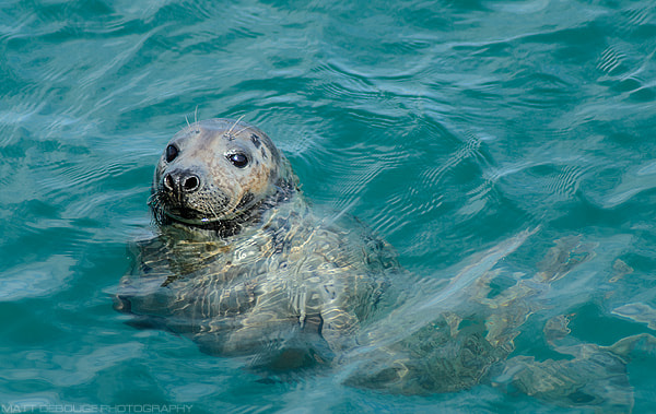 Photograph Grey Seal by Matt Debouge on 500px