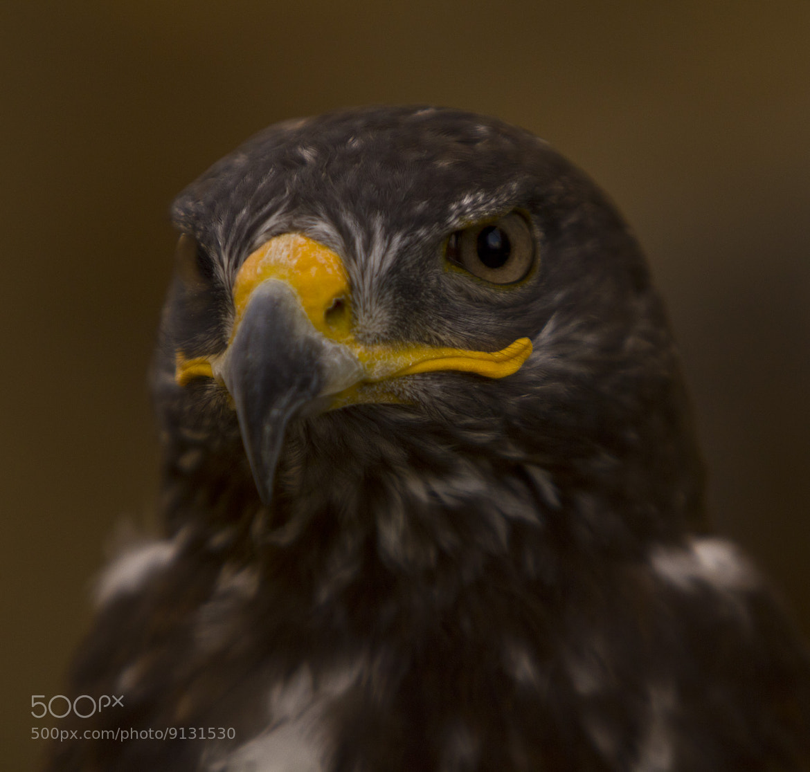 Photograph Eagle booted ( aguila calzada) by Oscar Ferreres on 500px
