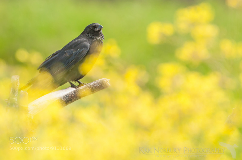 Photograph Colourful Crow by Kirk Norbury on 500px