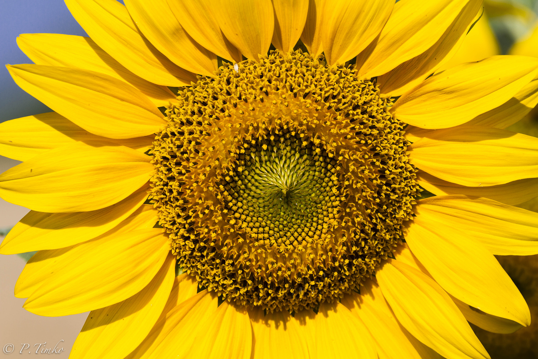 Photograph Sunflower by Pavol Timko on 500px