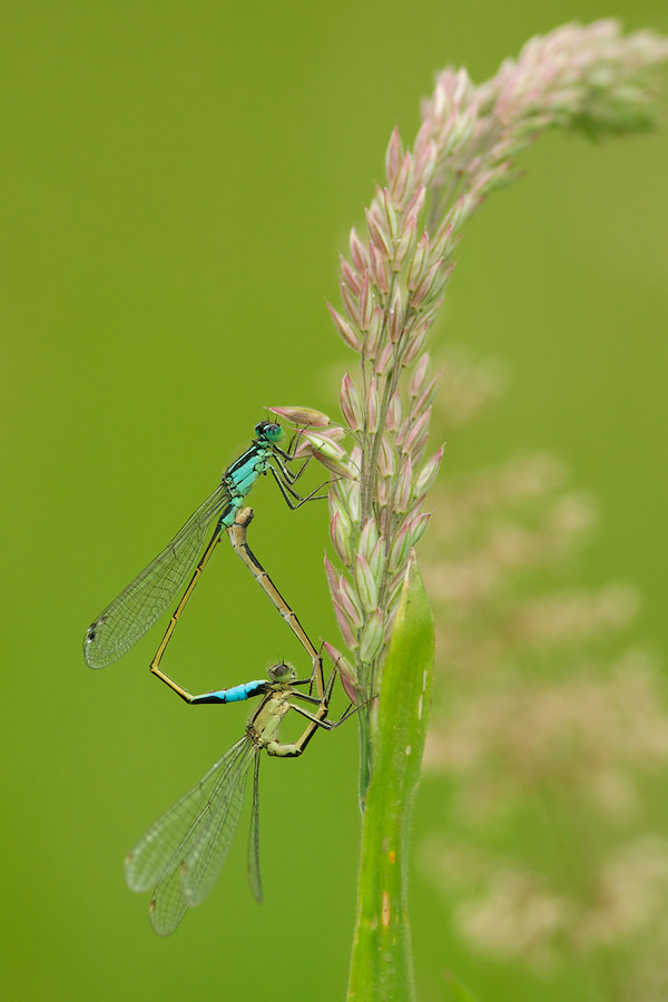 Photograph Blue-tailed Damselflies mating by Erik Veldkamp on 500px