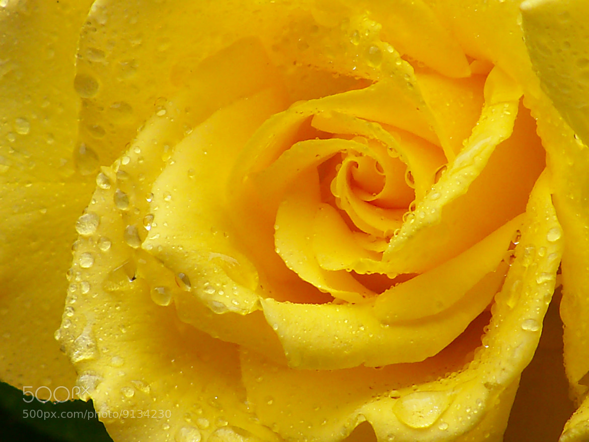 Photograph Droplets and the Yellow Rose by Nancy Andersen on 500px
