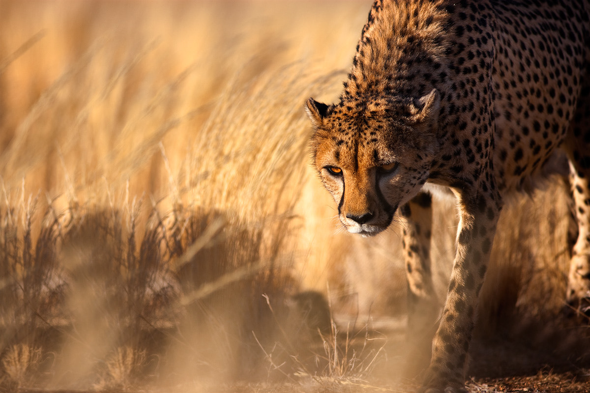 Photograph On the Prowl by Kah Kit Yoong on 500px