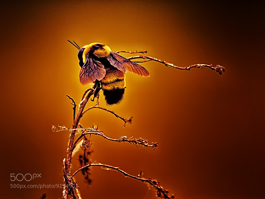 Photograph Hot Buzz by Bill Tiepelman on 500px