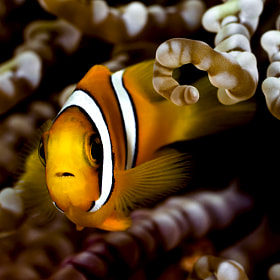 A young anemone fish by Azim Musthag (zimswp)) on 500px.com
