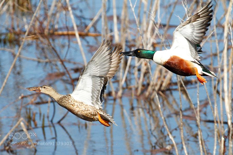 Northern Shoveler Ducks At Dutch Gap Conservation Area, Virginia USA