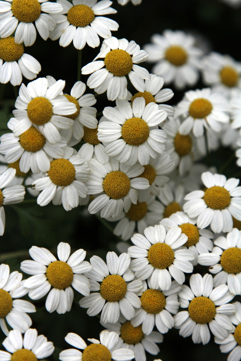 Photograph daisys by Salih Mazlum on 500px