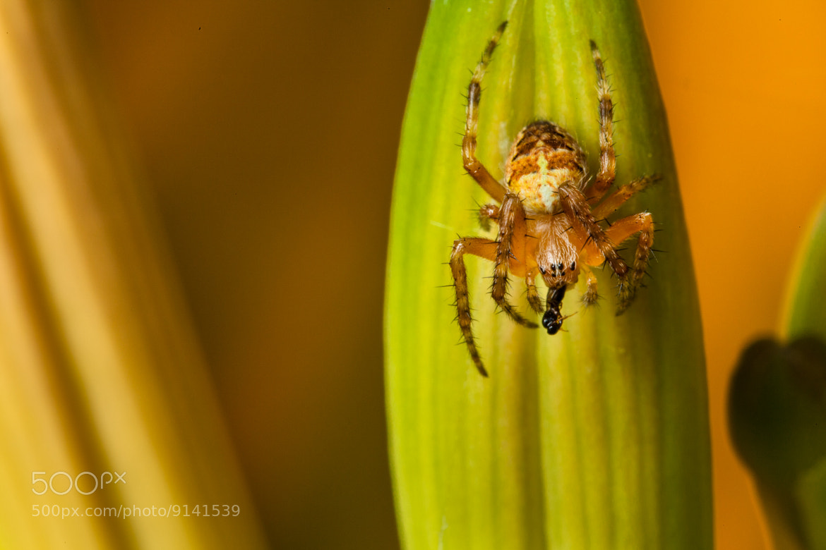 Photograph Small spider on flowers by Etienne Tremblay on 500px
