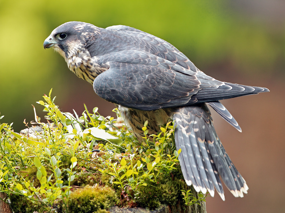 Photograph Wild Peregrine Falcon by Mark Medcalf on 500px