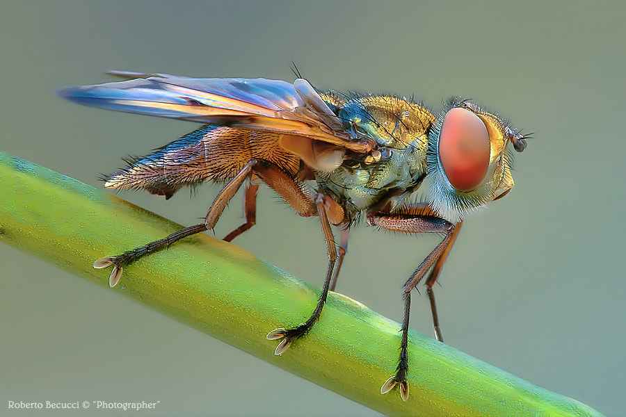 Photograph Ectophasia Crassipennis by Roberto Becucci on 500px