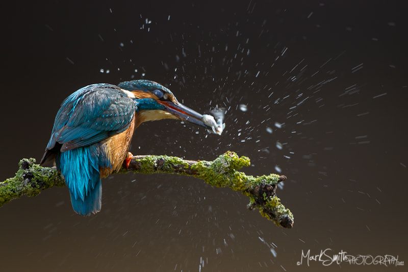 Photograph Male Common Eurasian Kingfisher (Alcedo atthi) by Mark Smith on 500px