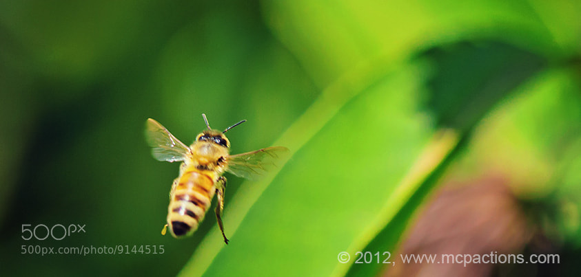 Photograph Bee in Flight by Jodi Friedman on 500px