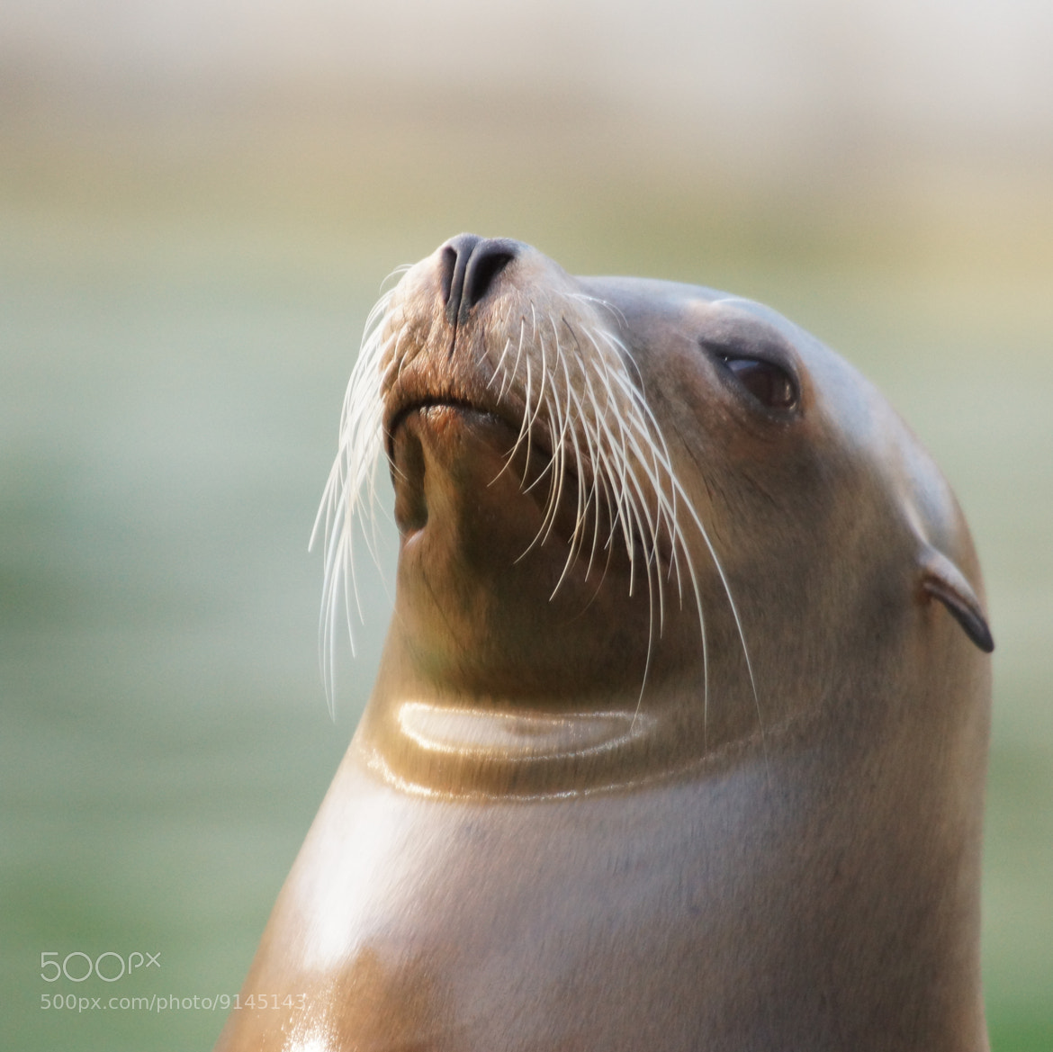 Photograph Sea Lion by Roland  Riesen on 500px