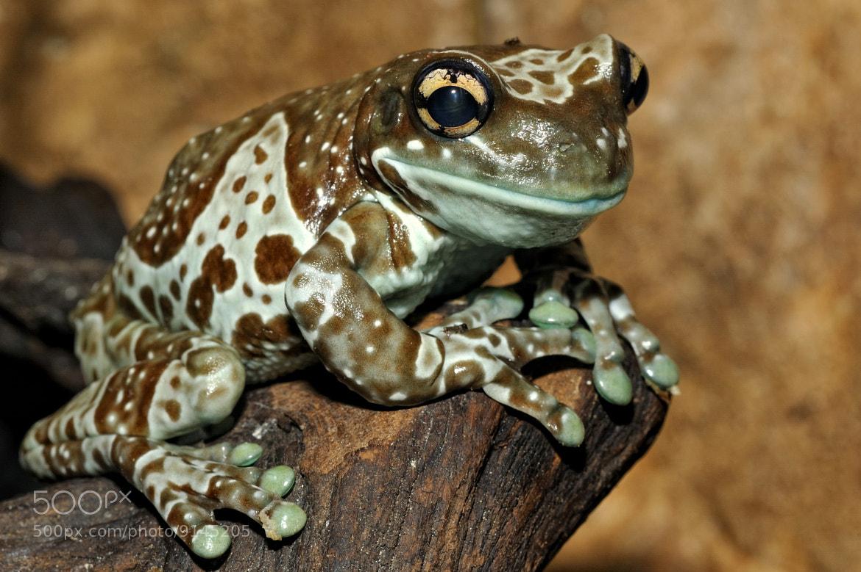 Photograph Posing Milk Frog by Josef Gelernter on 500px