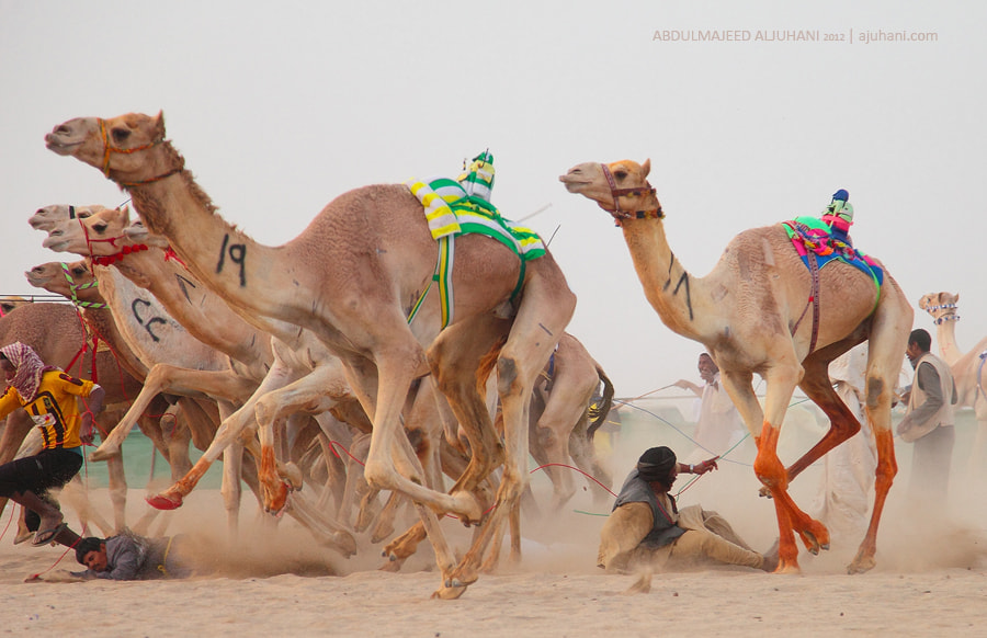 Photograph Camel Race  by Abdulmajeed  Aljuhani on 500px