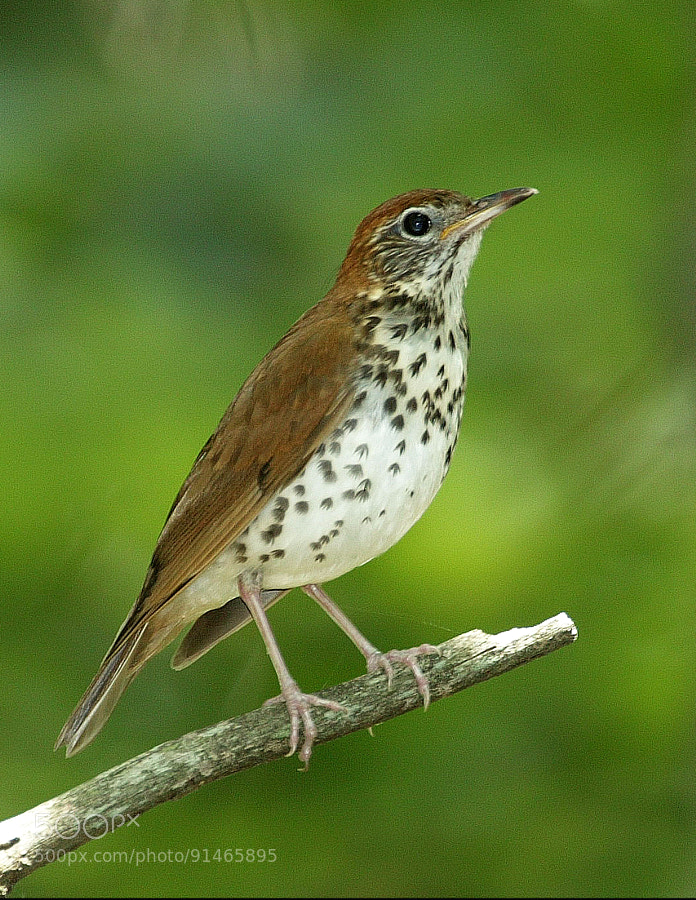 Elusive Songbird with Flute-like song.