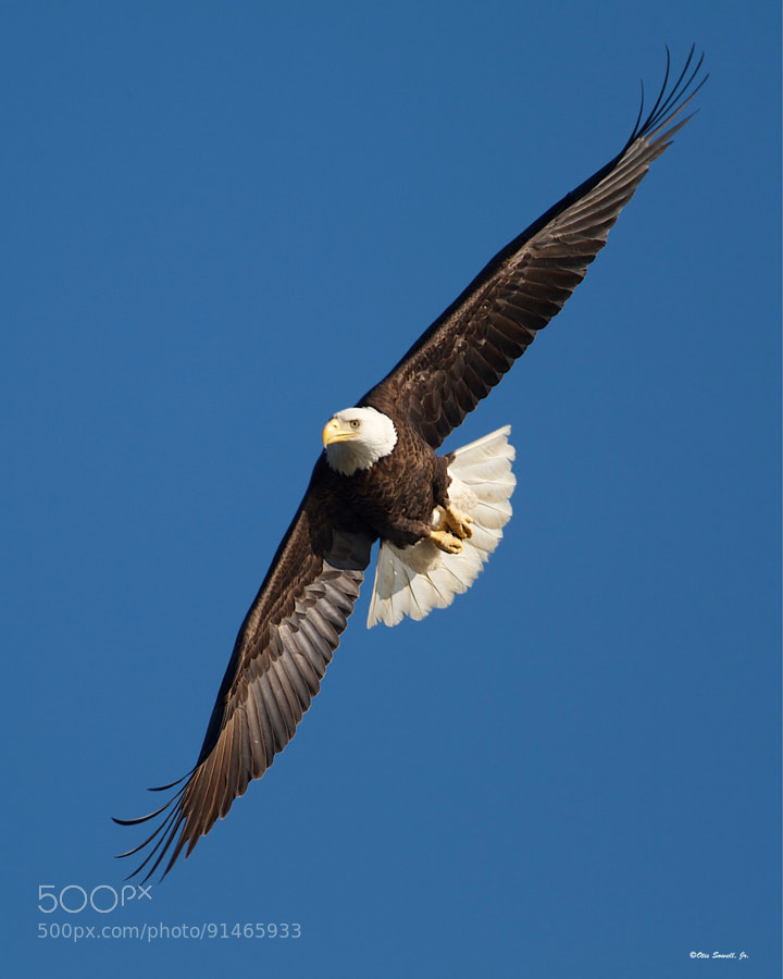 I shot this photo of a beautiful Bald Eagle on the James River near Deep Bottom Park - Virginia while on a Discover The James Eagle tour with Captain Mike Ostrander.  http://www.discoverthejames.com/?q=content/bald-eagle-tour-photographer-spotlight-otis-sowell