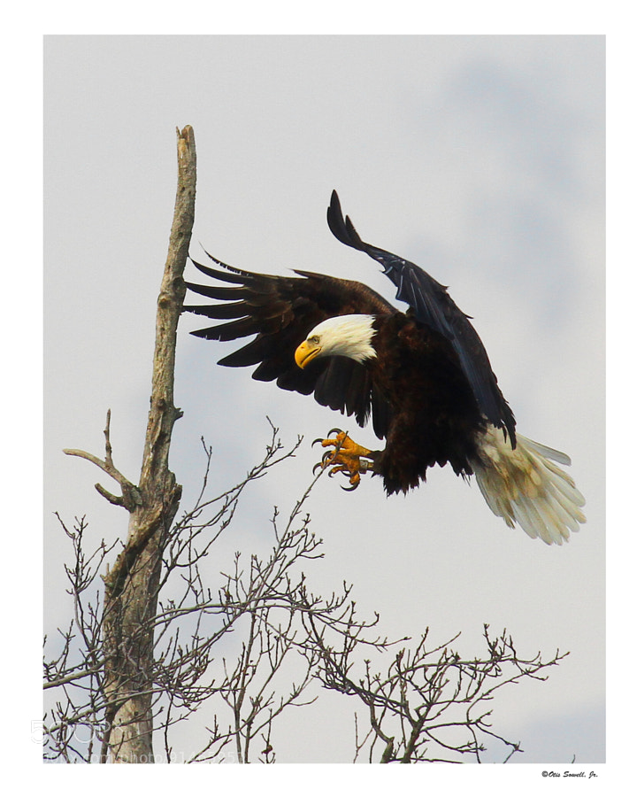 The Eagle Is Lalding