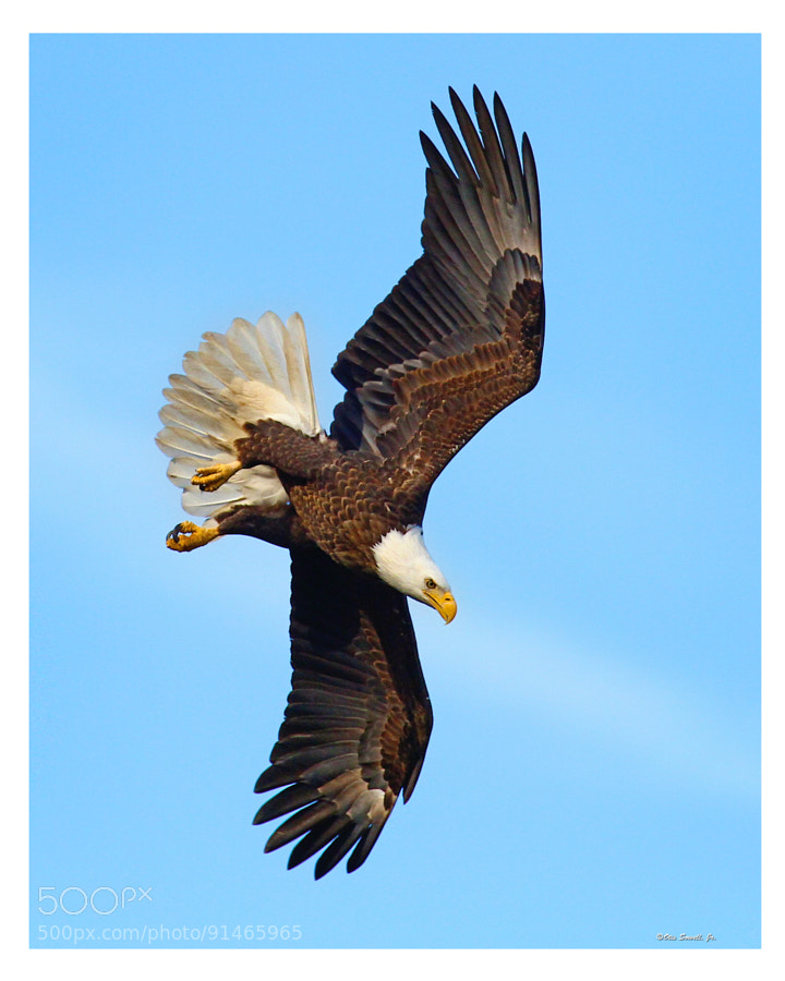 """Confidence From Past Accomplishments.  This appears to be the """"been there ,done that"""" determination of this stately Bald Eagle. Like, """"this is what I do"""" instinct.  Just imagine the success rate of endeavors embarked upon if people just followed the course  designed for people to do!"""