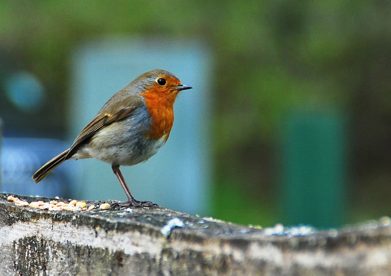 Photograph Robin by Chris  Evans on 500px