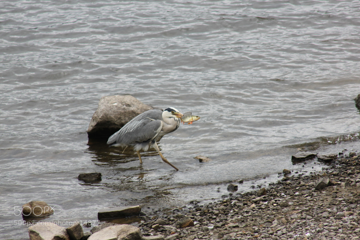 Photograph Heron with Perch by Debra Oldfield on 500px