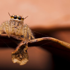 I AM | JUMPING SPIDER by Nadzli Azlan (nadzliazlan)) on 500px.com