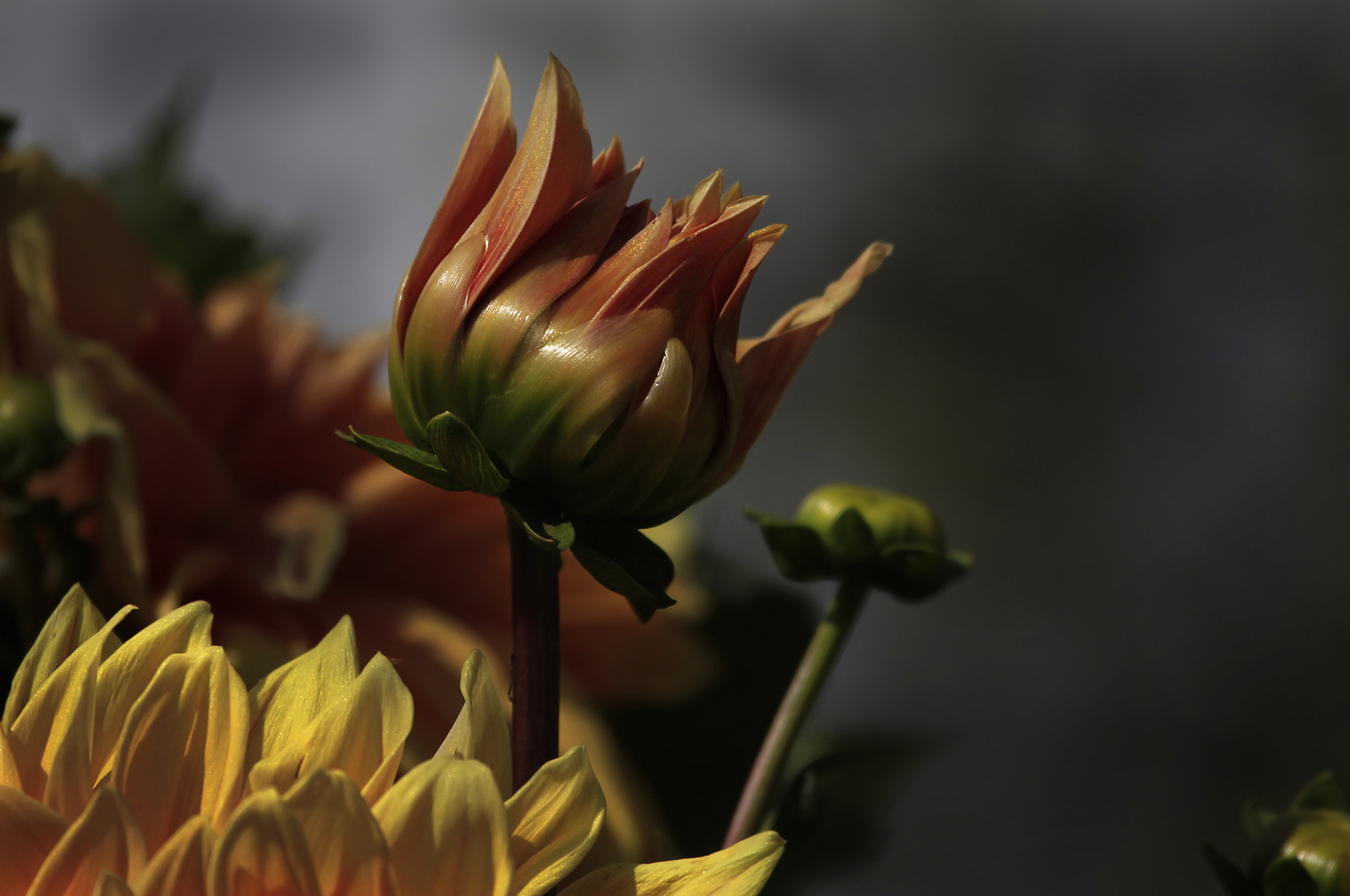 Photograph Dahlia s button by Cristobal Garciaferro Rubio on 500px
