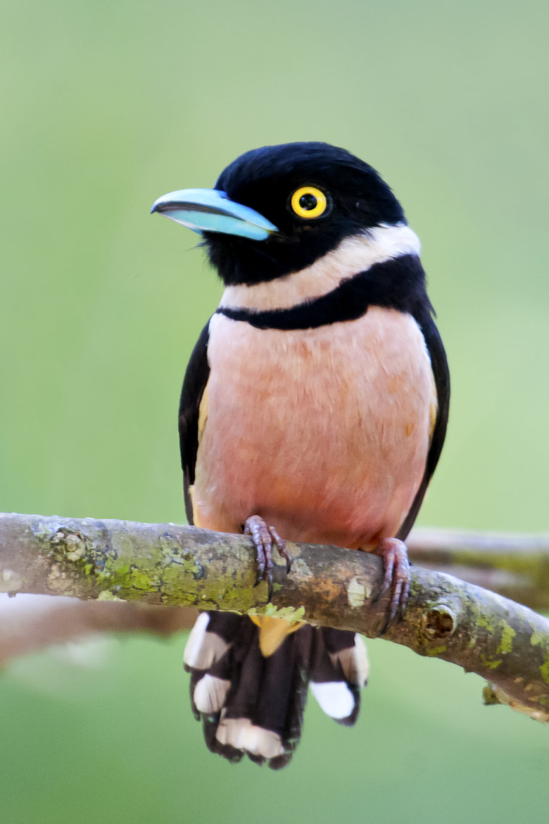 Photograph Black and Yellow Broadbill by Allan Seah on 500px