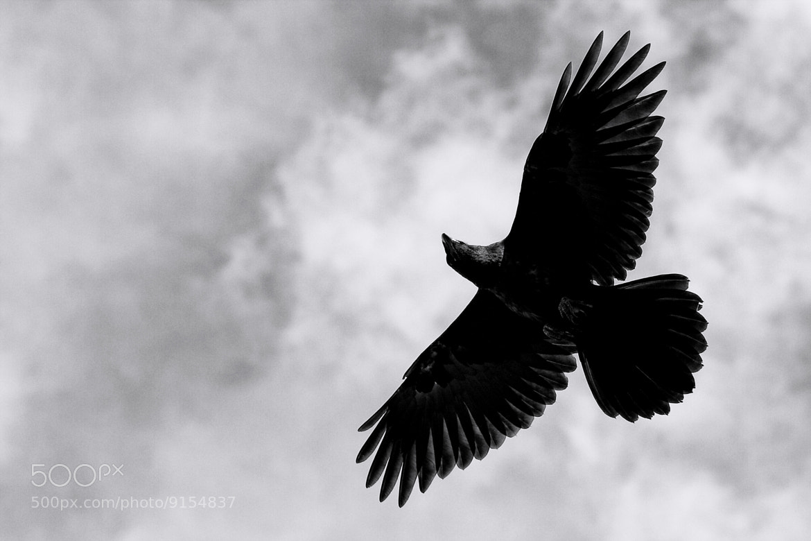 Photograph Raven by Ron Perkins on 500px