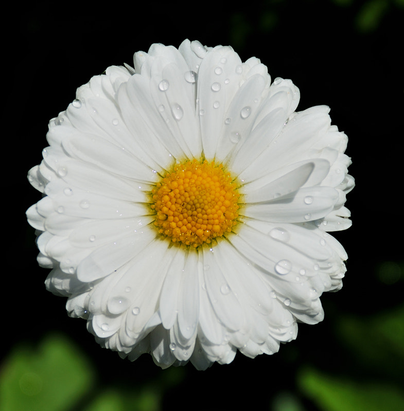Photograph Daisy by BARIŞ BİNGÖL on 500px