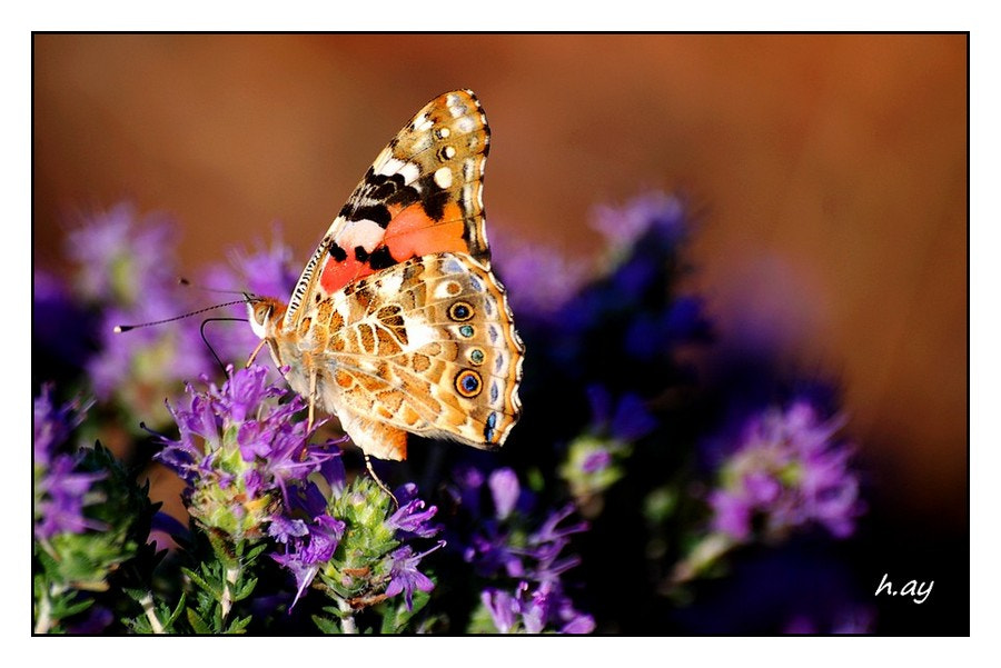 Photograph Vanessa cardui by HUSEYIN AY on 500px