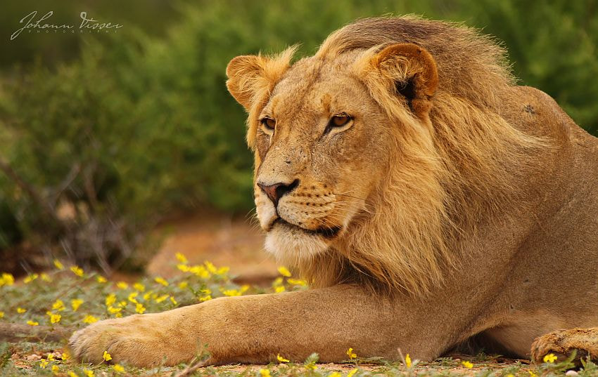 Photograph YOUNG MALE LION by Johann Visser on 500px