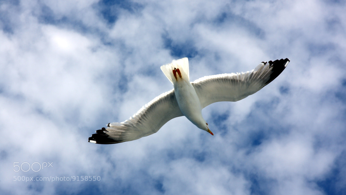 Photograph Seagull by Erdi Sam on 500px