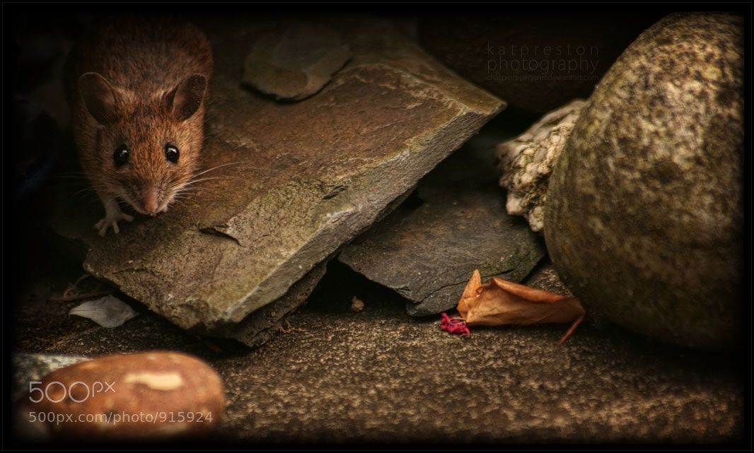 Photograph House Mouse by Kat Preston on 500px