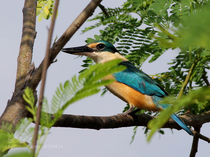 Photograph Shy Kingfisher  by Aat Bender on 500px