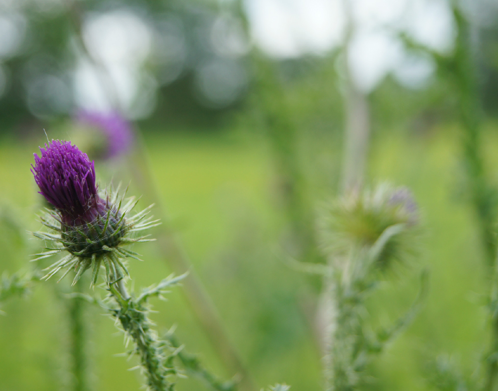 Photograph Thistle by Adhib M on 500px
